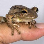 Bermuda's Singing Tree frogs